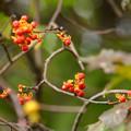 Photos: 深まる秋のツルウメモドキ