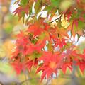 深まる秋のモミジ