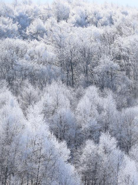 真白き木々(1)