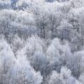 Photos: 真白き木々(1)