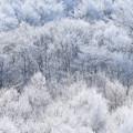 Photos: 真白き木々(2)