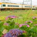 Photos: 近鉄特急 withガクアジサイ
