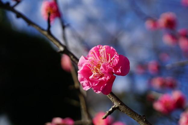 Photos: 梅が香