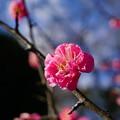 写真: 梅が香