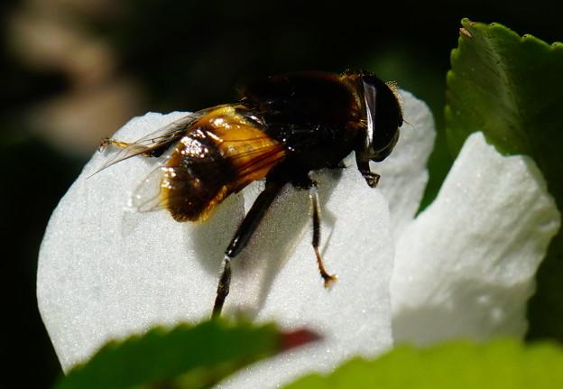 蜂のようですが....
