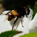 Photos: 蜂のようですが....
