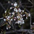 写真: 今日の石割桜(4月16日)