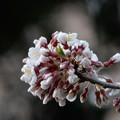 今日の石割桜(4月17日)
