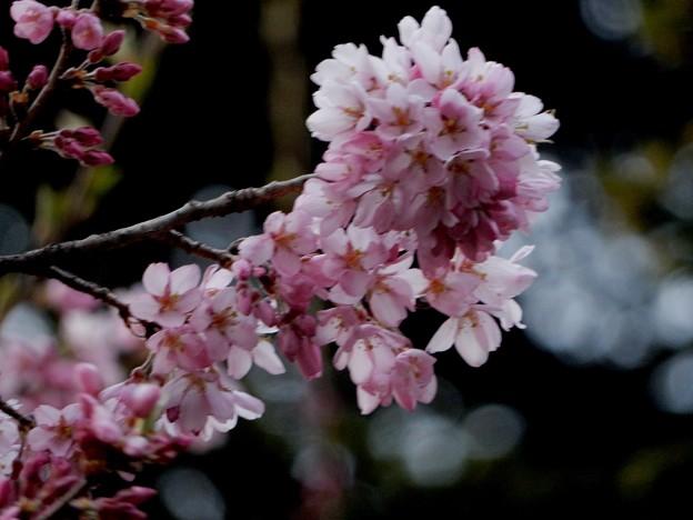 写真: 石割桜の隣りの桜(笑)