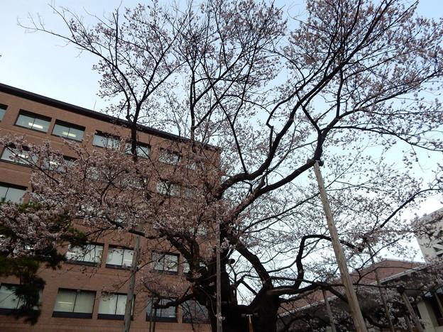 石割桜 4/18