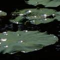 Photos: 雨上がりの蓮池