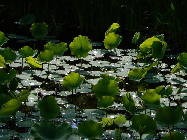 雨上がりの蓮池