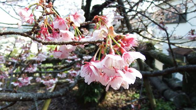 元日桜 4