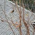 雀とカワラヒワ