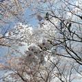 Photos: 庭木ダム桜 2