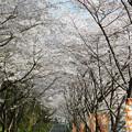 Photos: 庭木ダム桜 3