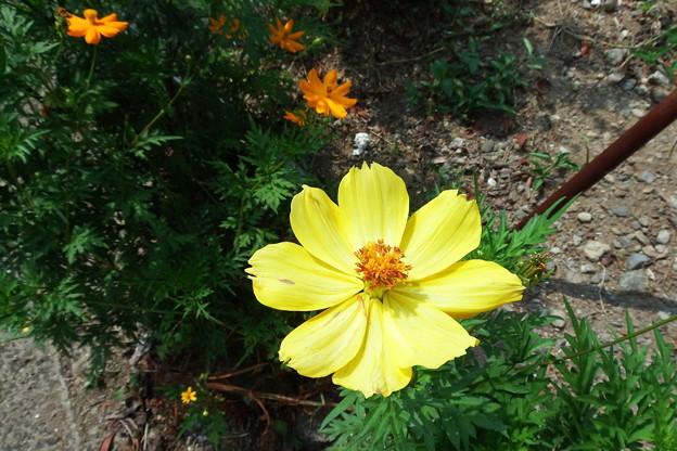 黄色のキバナコスモス