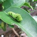 Photos: アゲハの幼虫 1