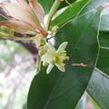 Photos: タブノキの花