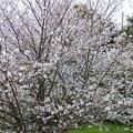 Photos: 桜の満開宣言