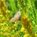 Photos: ウラナミジャノメ(ウラナミシジミです)
