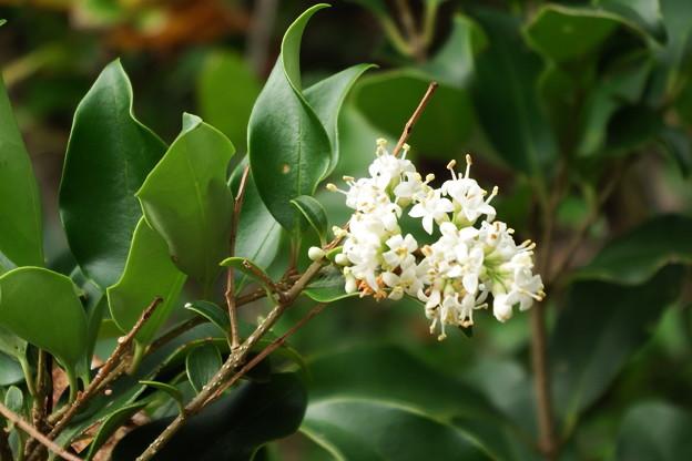 白い花(ネズミモチでした)