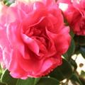 Photos: 花弁が多い椿