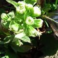 Photos: フキの花