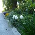 Photos: 去年秋に植えたスノーフレークの球根が開花