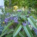 Photos: オーストラリアの花ハーデンベルギア