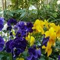 Photos: 日陰に植えたビオラが越冬(越年)