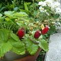 ワイルドストロベリーの花と実とナメクジ
