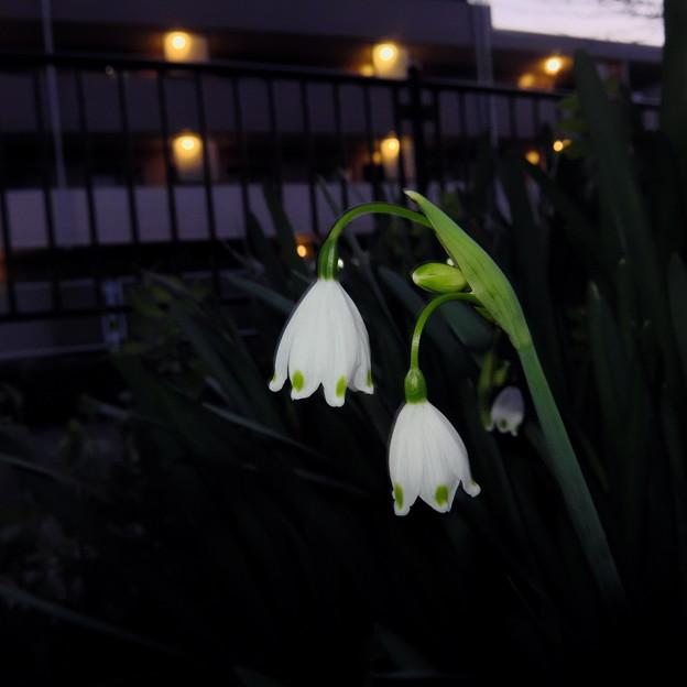Photos: スノーフレーク