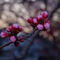 写真: 杏の蕾