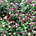 生花店の店頭、菊の蕾