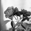 Photos: 紅いバラ