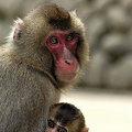 親子猿(4)