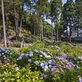 2017 千光寺の紫陽花2