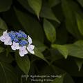 2017 千光寺の紫陽花3