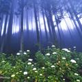 霧の紫陽花2