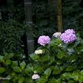 竹林の紫陽花1