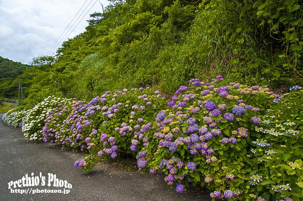 2018 紫陽花ロード2