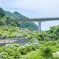 2018 中木庭ダムの紫陽花2
