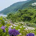 2018 中木庭ダムの紫陽花4
