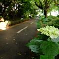 写真: 沿道にも紫陽花