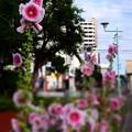 写真: 緑道のタチアオイ