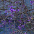 Photos: 紫色の実