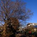 Photos: 榎の大樹