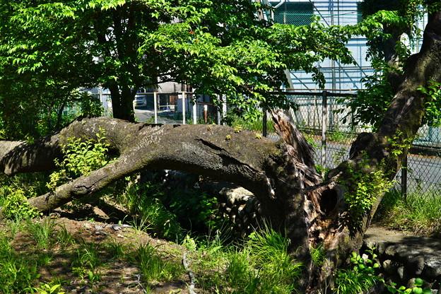 Photos: 桜橋から (6)