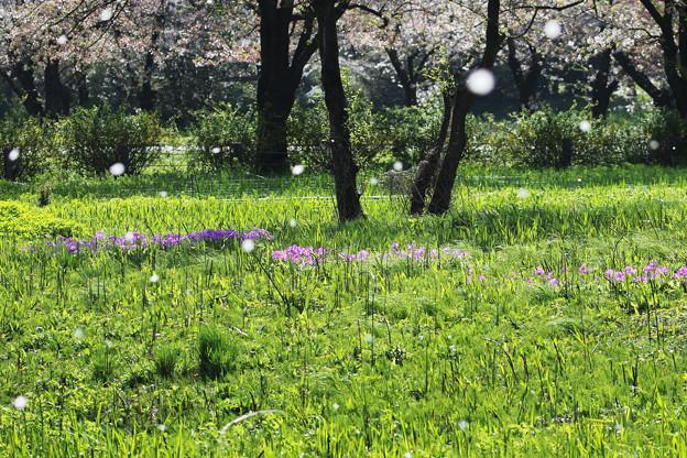 さくらon桜
